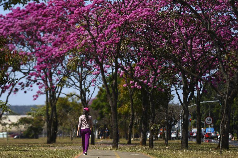 Florada dos ipês, em Brasília.