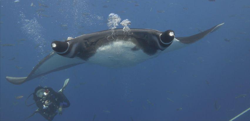 """A manta gigante é um dos animais mostrados na série """"Imensidão Azul"""""""