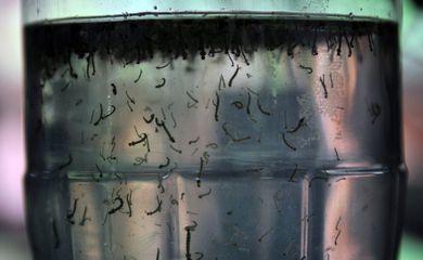 larvas do mosquito Aedes Aegypti