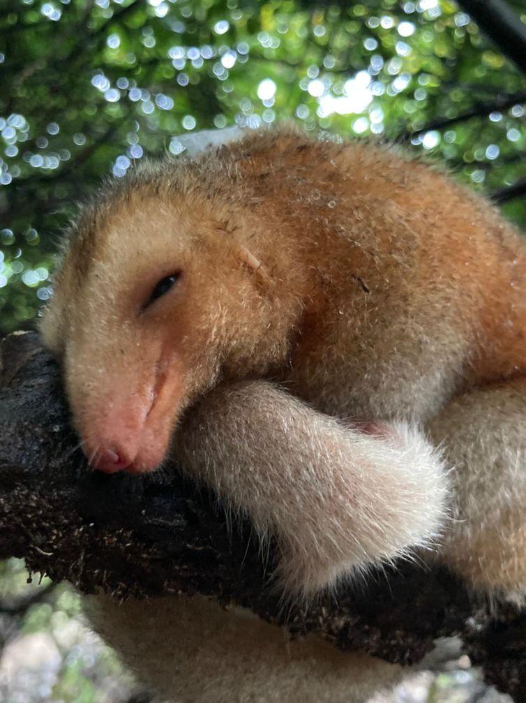 tamanduá: o Cyclopes didactylus