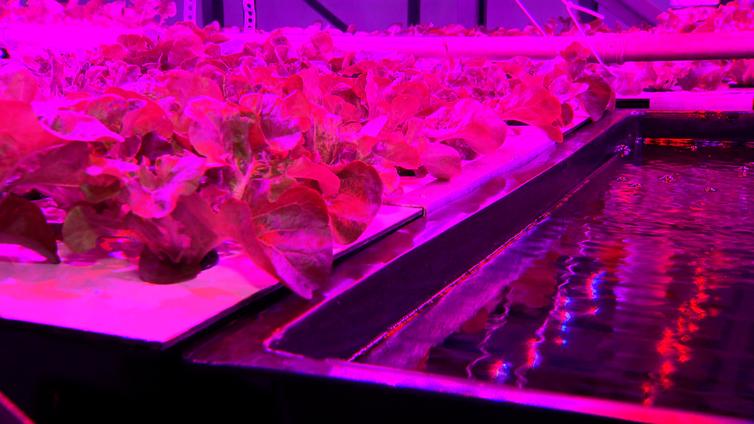 A iluminação rosa é ideal para plantas crescerem rápido