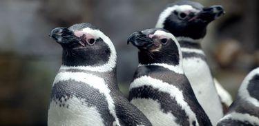 Episódio investiga como os pinguins enxergam embaixo d'água