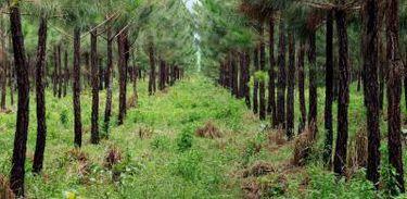 Floresta Plantada