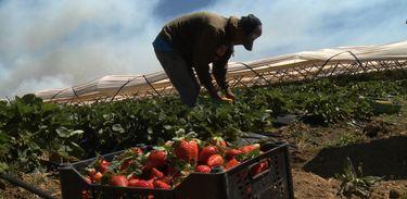 O cultivo de Morango dita a pauta do Agro Nacional