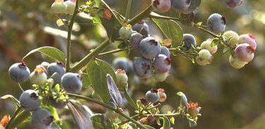 Pesquisa sobre adaptação do cultivo de mirtilo ao clima brasileiro