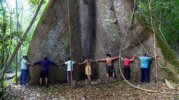 Samaúma gigante, Alter do Chão, Pará.