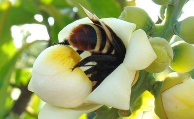 Abelha, Flor, bertholletia