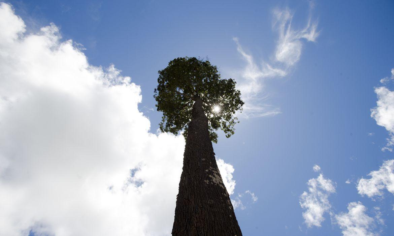 Castanheira em floresta de Juruena, MT, Brasil: Castanheira. (Foto: Marcelo Camargo/Agência Brasil)