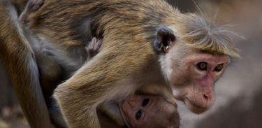 Ilha dos Macacos revela os desafios dos animais em uma antiga cidade em ruínas, no Sri Lanka