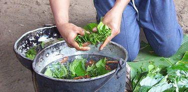 Preparação de ayahuasca