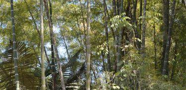 Floresta com alta densidade de bambu nativo do gênero Guadua (Taboca Gigante), no Assentamento Bandeirantes, município de Porto Acre (AC).