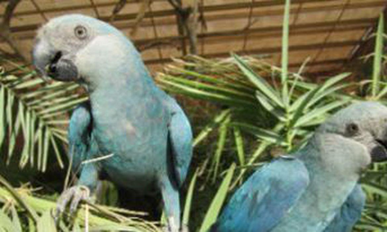 ararinha-azul está extinta em seu habitat natural
