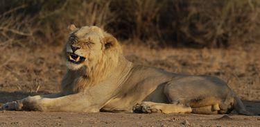 O País do Grande Felino retrata a situação das leoas durante a estiagem