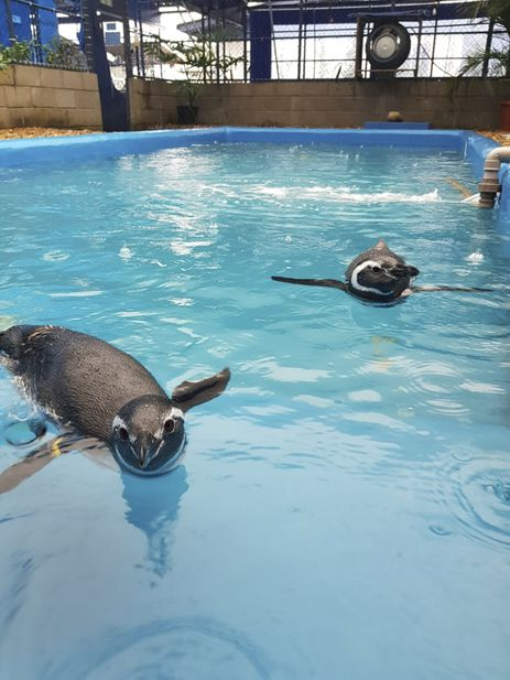 Pinguins resgatados na costa brasileira.