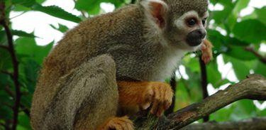 Macaco de cheiro de cabeça preta