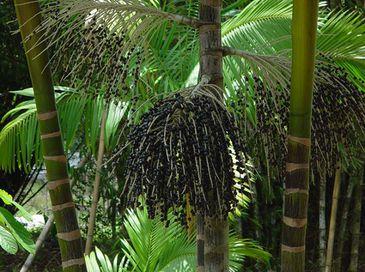 O açaí foi o produto da extração vegetal não madeireira brasileira com maior valor de produção no ano passado