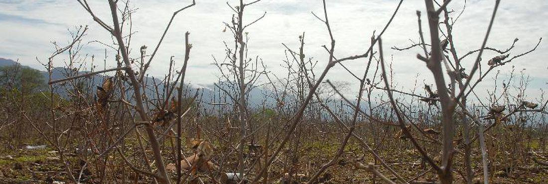 Plantação de algodão em Bicas, na zona rural de Monte Azul (MG), prejudicada por causa da seca