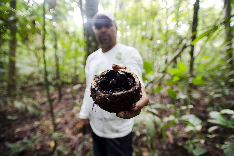 Antônio Bento de Oliveira mostra fruto da castanheira colhido na reserva legal comunitária do assentamento Vale do Amanhecer