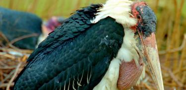 Episódio apresenta alguns dos pássaros mais estranhos e velozes