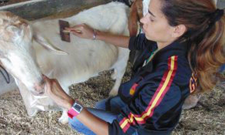 Pesquisadora da UFRRJ coleta cashmere em cabra brasileira