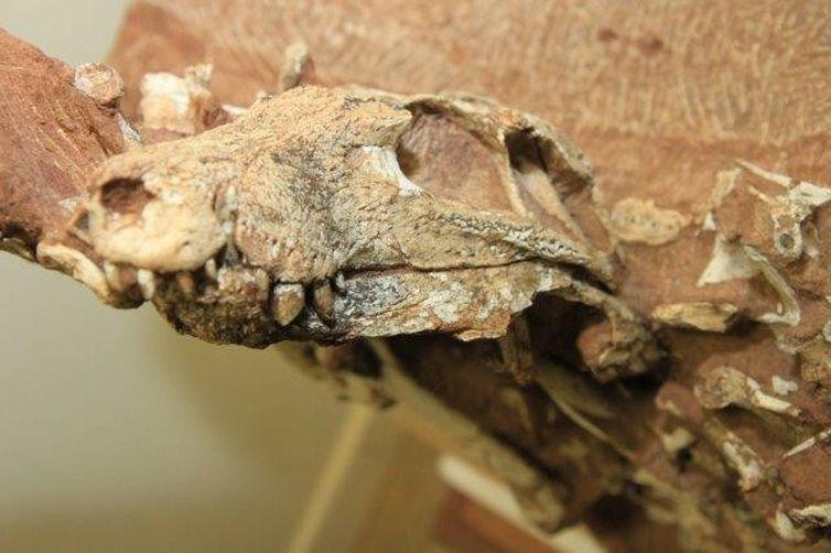 O crocodilo tinha crânio de formato triangular com dentes adaptados a uma alimentação de origem vegetal e animal
