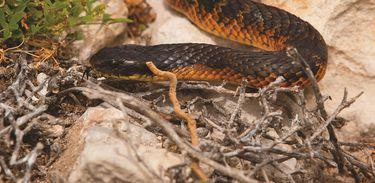 Série Ilha Rottnest traz curiosidades sobre a cobra-tigre