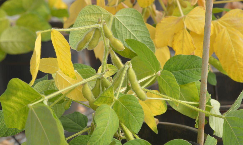Na Embrapa Recursos Genéticos e Biotecnologia são desenvolvidos estudos em plantas de soja transgênica capazes de produzir o fator IX, uma proteína responsável pela coagulação do sangue (Wilson Dias/Agência Brasil)