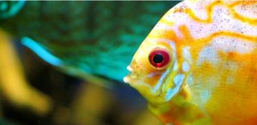 Futurando investiga como funciona dos peixes