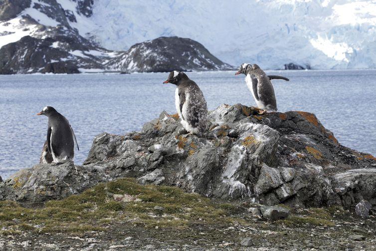 Estação Antártica Comandante Ferraz , pinguim