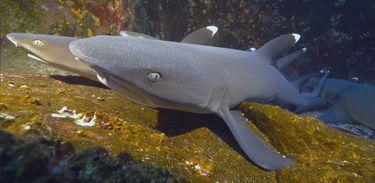 """Último episódio de """"Os mistérios da evolução"""" explica por que o tubarão é considerado um """"fóssil vivo"""""""