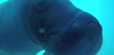 Mari e sua turma descobrem coisas bem legais sobre o peixe-boi da Amazônia