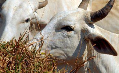 gado boi vaca rebanho
