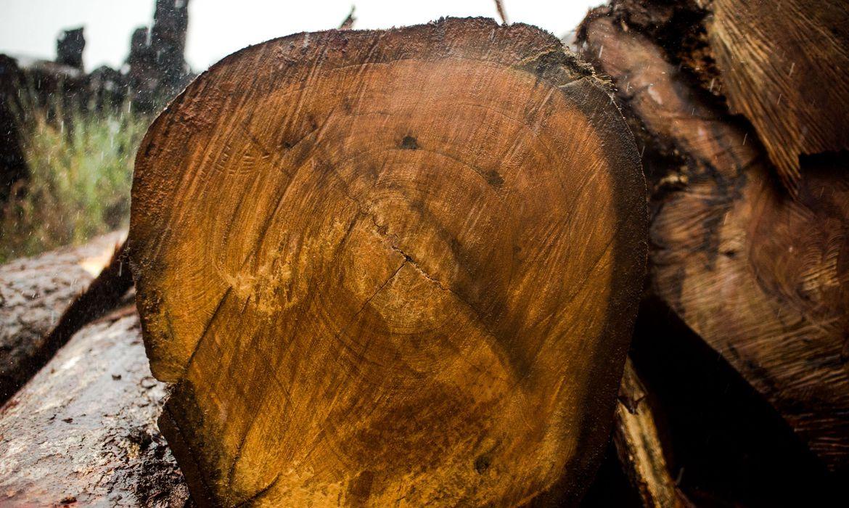 Toras de madeira extraídas ilegalmente da Terra Indígena Manoki apreendidas pelo Ibama (Marcelo Camargo/Agência Brasil)