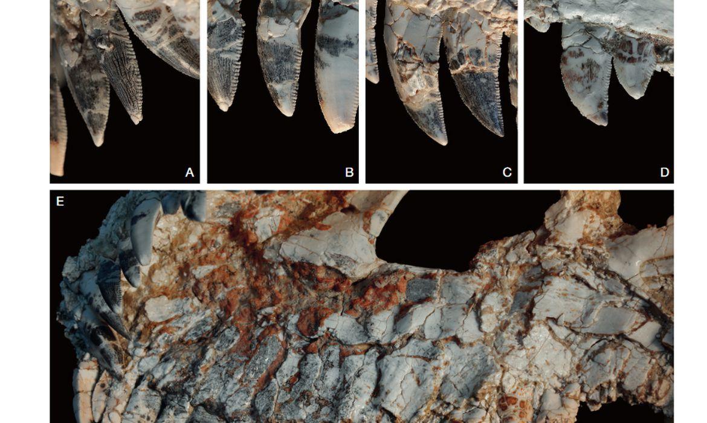 Spectrovenator ragei, fossil