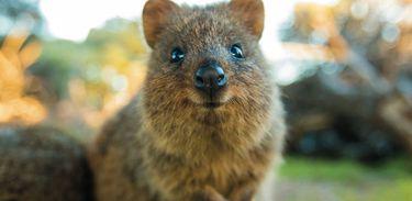 Espécie típica da Austrália Ocidental, o quokka é considerado o animal mais feliz do planeta
