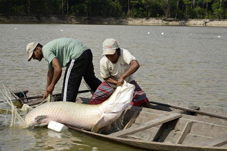 Povo Paumari pesca pirarucu