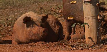Conheça uma criação sustentável de suínos