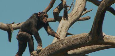 Na reserva Ol Pejeta, no Quênia, vivem 39 primatas