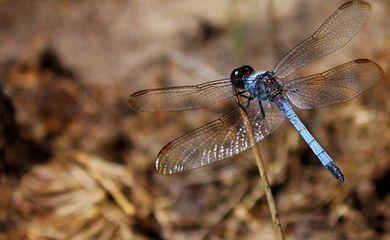 Nova espécie de libélula em São Carlos