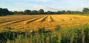Plantações de milho