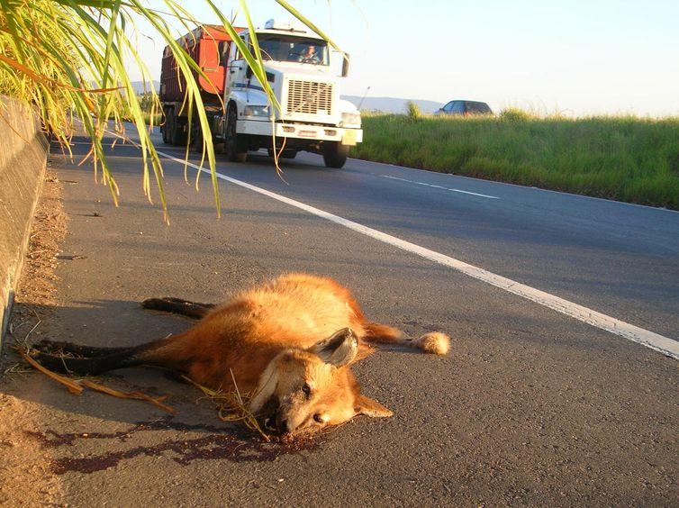 Lobo 3 - Lobo atropelado em estrada  Foto: Rogério Cunha / Direitos reservados