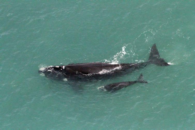"""Baleia Franca_comparacao Brasil e Georgia do Sul"""" é sobre a baleia-franca identificada no Brasil foi avistada na área de alimentação próximo à Antártica."""