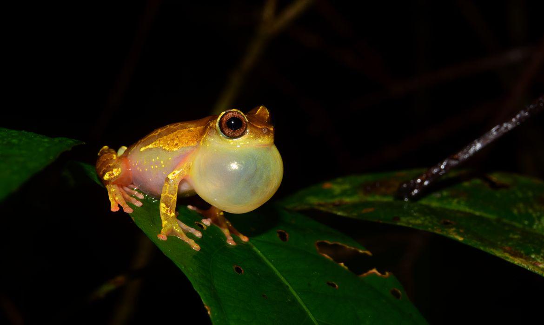 NÃO USAR ESSA FOTO!!! DIREITO RESERVADO!!! Em duas expedições à Amazônia, pesquisadores de São Paulo coletaram animais de pelo menos 12 espécies ainda não catalogadas de sapos e lagartos