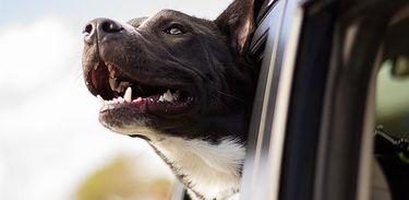 Cachorro com cabeça para fora do carro