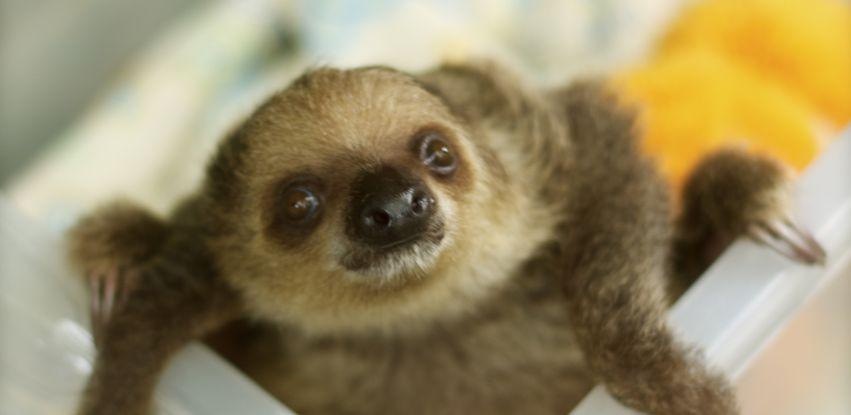 Bebê preguiça é encontrada em Manaus