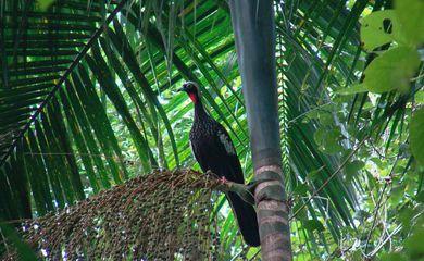 Espécie ameaçada de extinção devido à caça e destruição do habitat. Dispersora de sementes de várias espécies vegetais, como o palmito-juçara (Euterpe edulis).