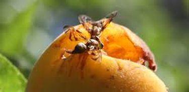 Mosca-da-fruta
