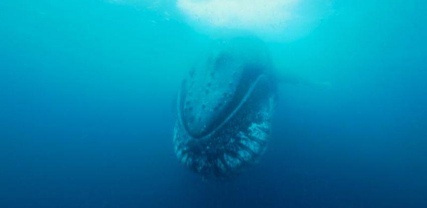 Série Vida Selvagem traz registros da baleia-franca-austral